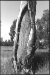 Digital Collections - Pictures - Rhodes, Jon, 1947- Photographs of scarred trees, Canoe trees, Dendroglyph and fish trap [picture]