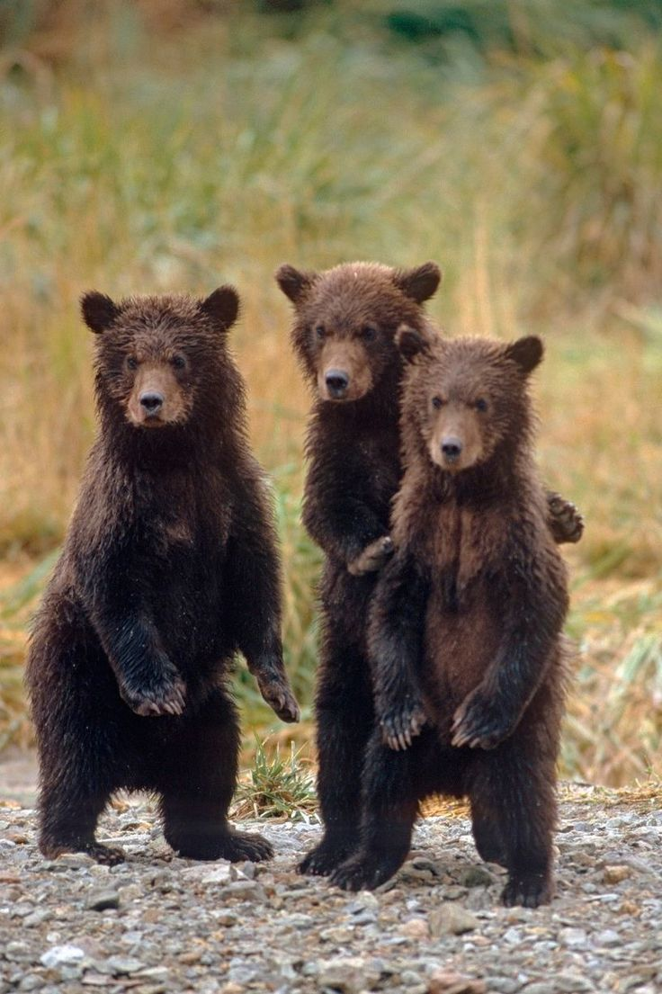 Three grizzly bear cubs are on the alert while waiting for their mother. Image: Steven Kazlowski/Barcroft Media