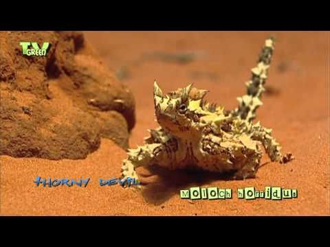 Thorny Devil is an Australian lizard. It grows up to 20 cm in length and can live up to 20 years, Looking for broadcast footage? Don't shoot! Contact http://www.stockshot.nl/ ©