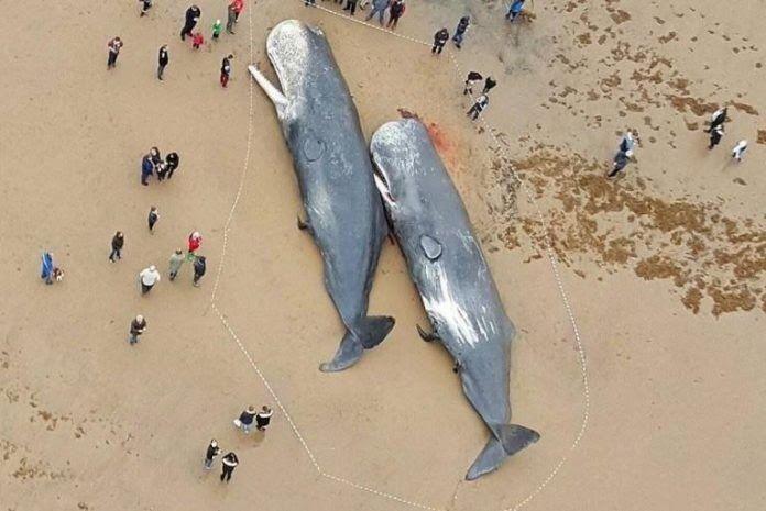 Φάλαινες βρέθηκαν νεκρές στις ακτές της Γερμανίας, αυτό που βρέθηκε στα στομάχια τους, σοκάρει…!