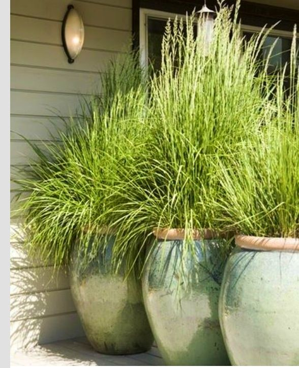 Lemongrass In Large Pots On The Patio Repels Mosquitos