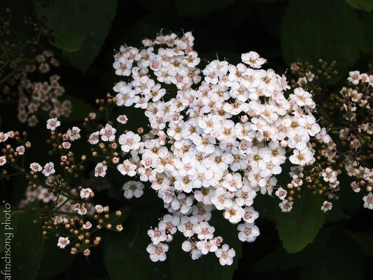 Spiraea x media 39 darsnorm 39 snow storm spirea deciduous for Flowering bushes for full sun