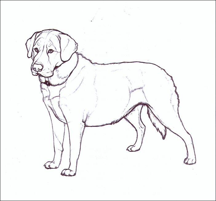 Lab Dog Drawing Easy