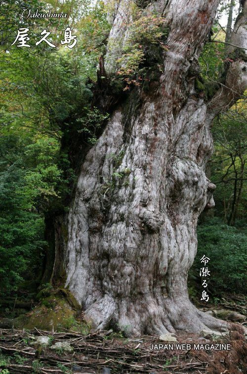 Yakushima, Japan: This cedar tree, Jomon Sugi is estimated to be anywhere between 2,600 to 7,200 years old and Yakushima is the World National Heritage Sites.