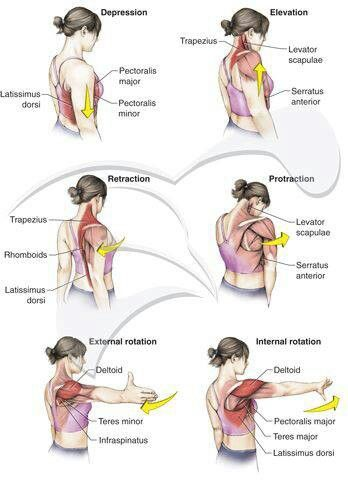 Shoulder movements/muscles