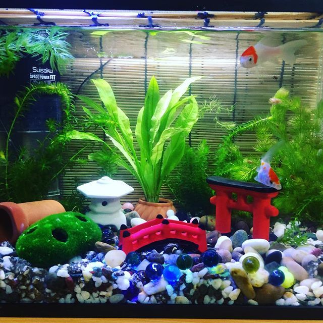 【shige.ch】さんのInstagramをピンしています。 《#金魚 #goldfish #aquarium #アクアリウム  水換えでした、元気ないアマゾンソードをポットに移して、二酸化炭素タブレットとうにゆー》