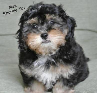 Shih Tzu/Yorkie Mix (Shorkie Tzu)