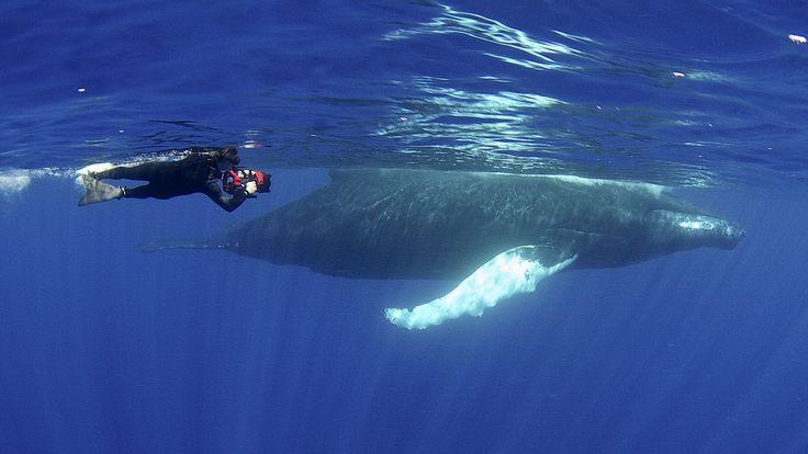 Great YouTube series on Ocean Life: Jonathan Bird's Blue World: Humpback Whales