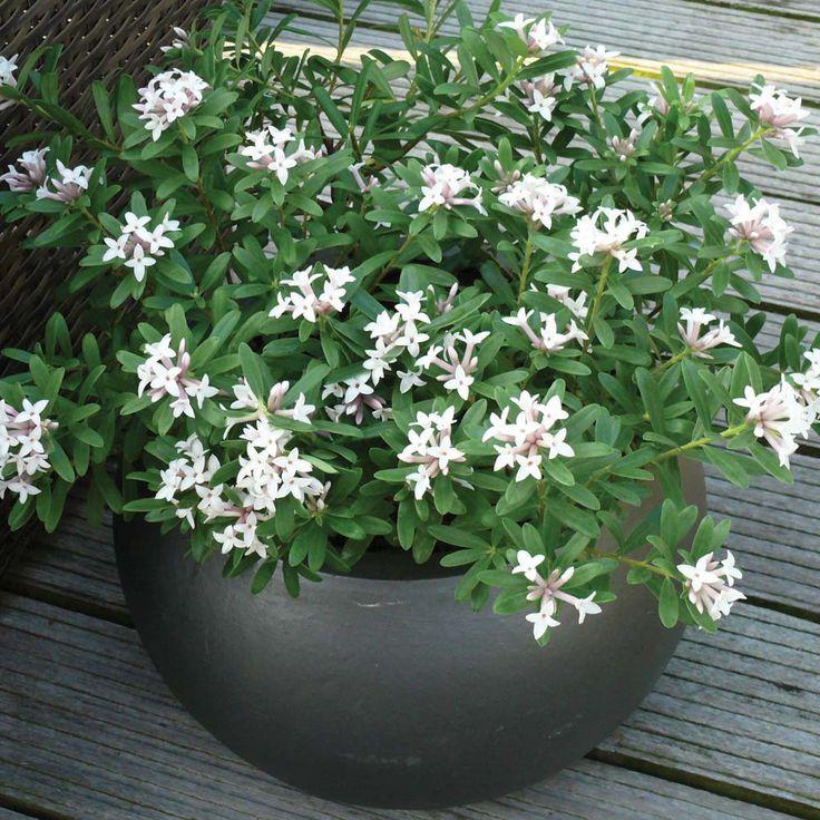 Daphne x transatlantica 'Eternal Fragrance' - Garden Plants from Thompson & Morgan - Thompson & Morgan