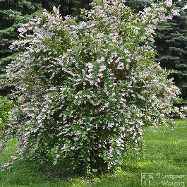 Deutzia Scabra-Trouble free and easy to maintain, this upright beauty is ideal as a border or alone as a solitary plant. Grows in almost any soil. Prune annually after flowering.