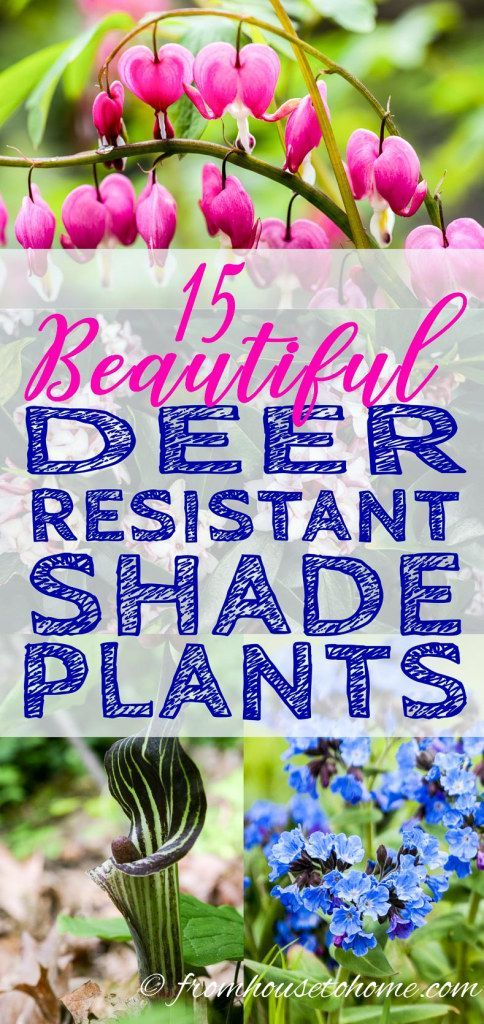GREAT list of deer resistant shade shrubs and perennials. I love all of the evergreen varieties. #DeerResistant #ShadePlants #GardeningTipsAndPlants