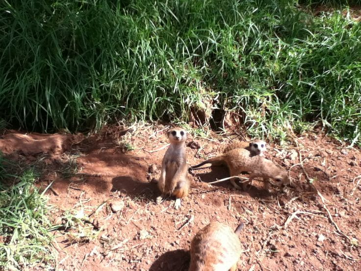 Meerkats at Johannesburg zoo. So cute!