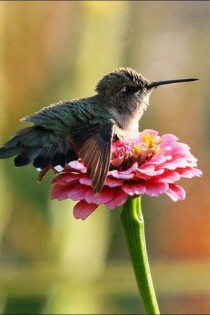 Baby Hummingbird resting on zinnia. Via Nature Gallery - FB                                                                                                                                                                                 Mais