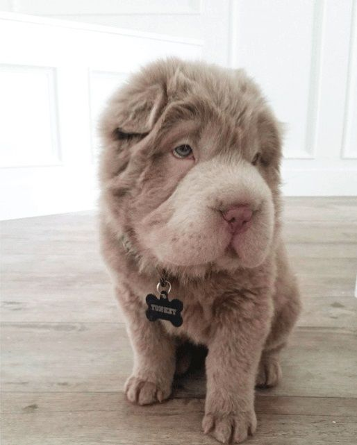 Tonkey-Bear-Shar-Pei-Dog-on-Instagram