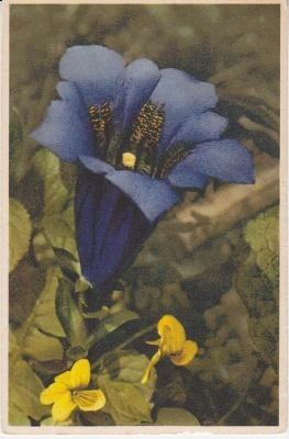 Thor E Gyger Postcard - A 1731 Gentiana acaulis - Stengelloser Enzian
