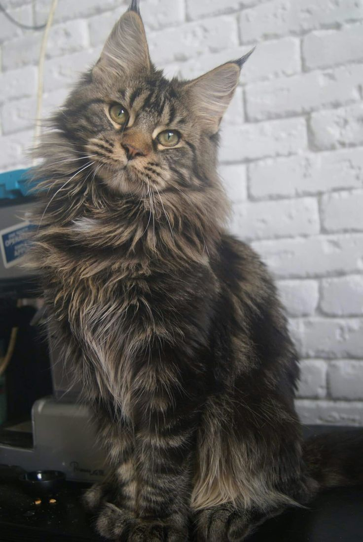 Maine Coon Cat Weight By Age
