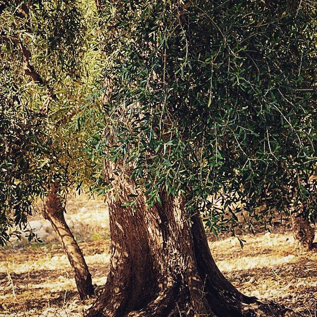 #MerryChristmas from #Italy!! #love #oliveoil #amazing #tree #nature #instagood #instalove #christmas #picoftheday #igers #winter #italian #life