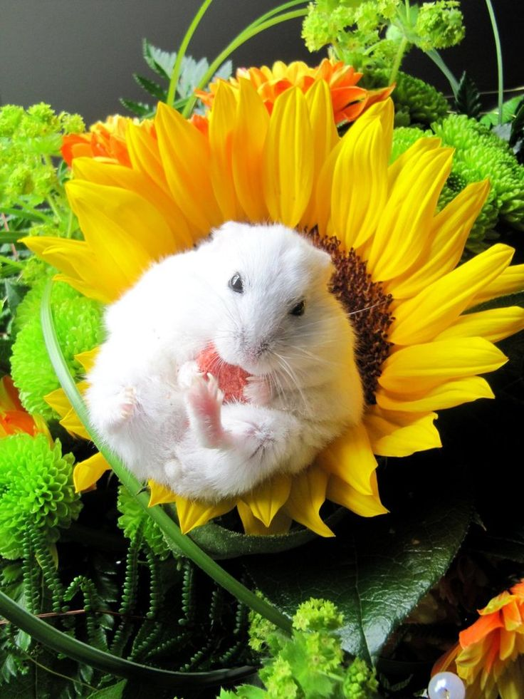Hamster on sunflower