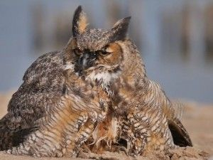 Great horned owl swims across Lake Michigan - GrindTV.com
