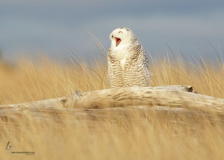 Snowy Owl by Joshua Clark on 500px