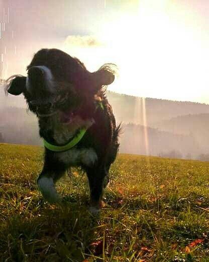 Bernese mountain dog <3 pure love