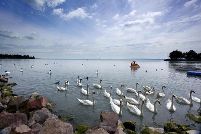 Swans in Lake Balaton