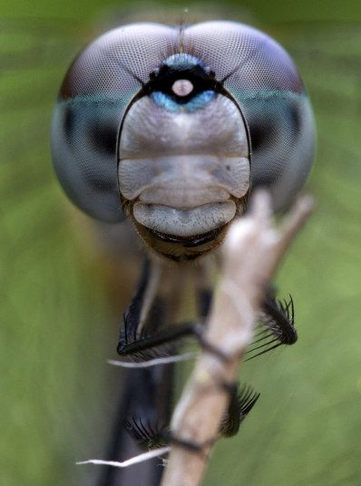 A dragonfly clings to a branch in Surfside, Florida. It's compound eyes are made up of thousands of facets which allow it to see even behind itself.