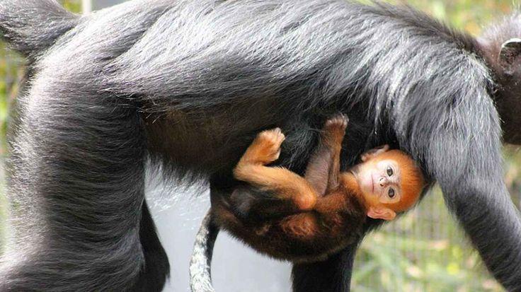 Adorable Rare Orange Monkey Is Born in Sydney - BlazePress