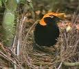 a bower bird
