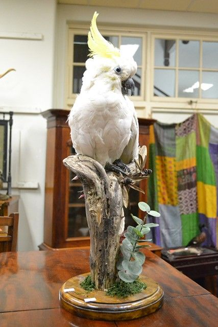 A TAXIDERMIED COCKATOO ON FLORAL TREE BRANCH $200