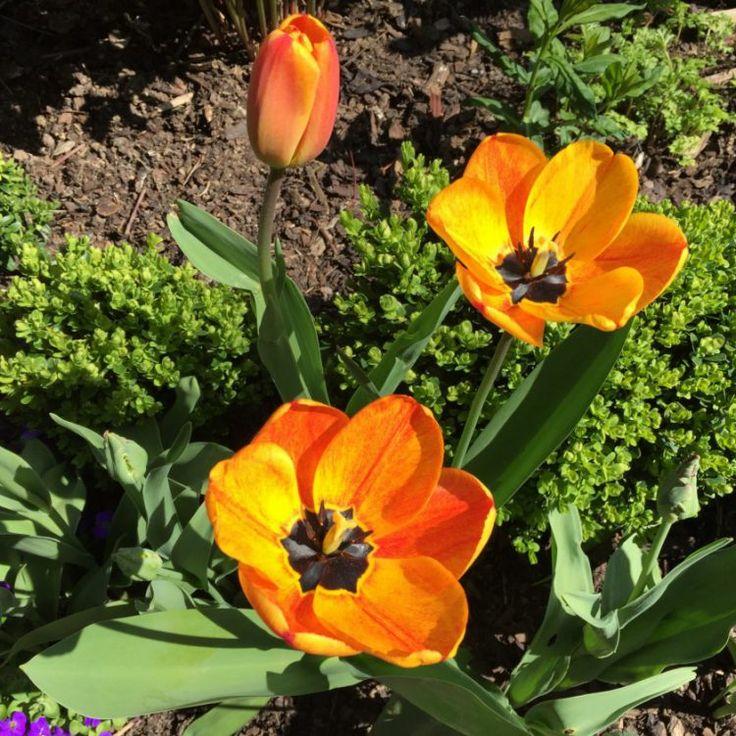 Die 25+ Besten Ideen Zu Tulpen Pflanzen Auf Pinterest ... Tulpen Im Garten Pflanzen