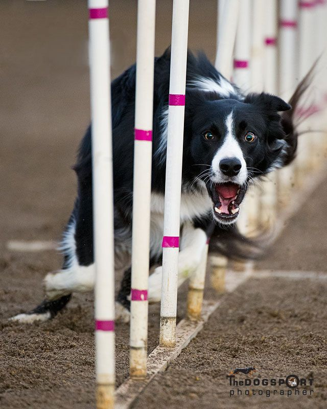 Love the intense look captured on this border collie while she is weaving the agility poles...