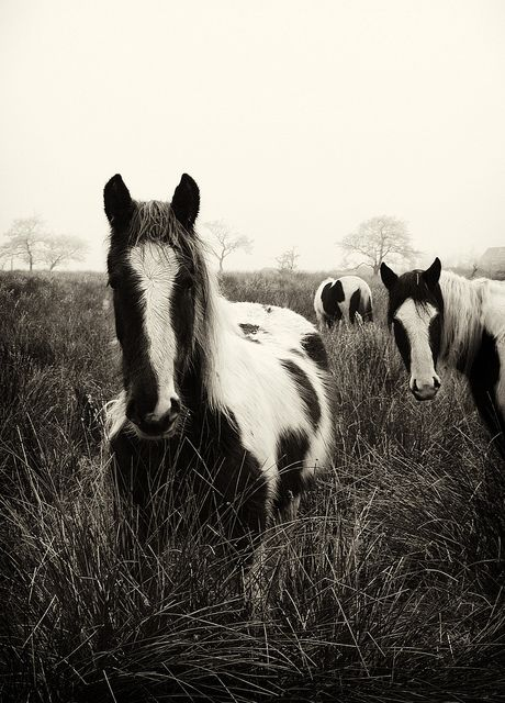 Horses on a misty morning at Glenhordial, Omagh, Co.Tyrone