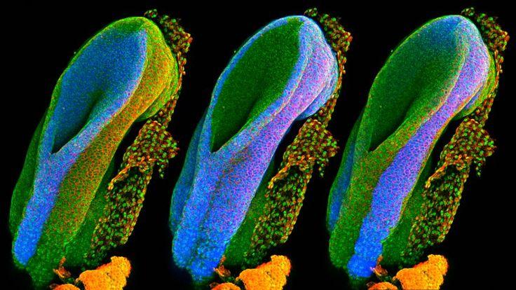 So sehen die wichtigsten Gewebetypen in einem Mäuseembryo aus. Sie sind in...