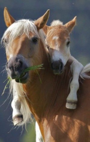 <3. Horses like being on their mom's back, when 20 seconds old.  :)