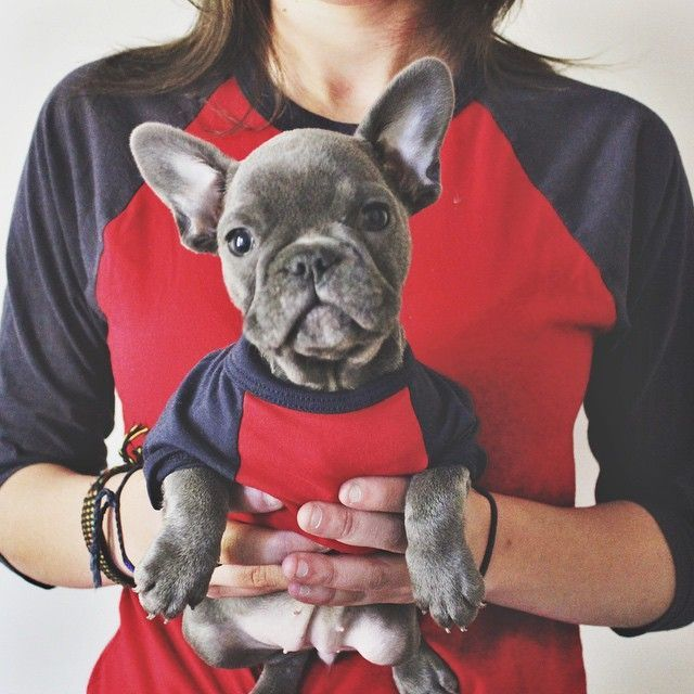 Mommy and her 'mini-me', Blue French Bulldog Puppy