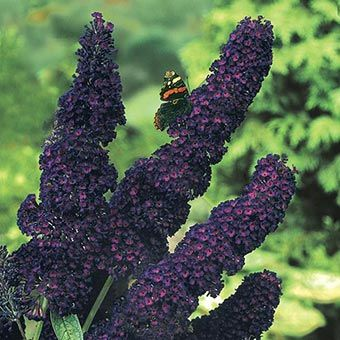 Black Knight Butterfly Bush from Spring Hill Nursery in Ohio.