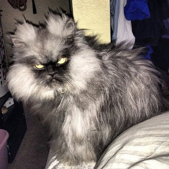 """colonel meow, """"the world's angriest cat"""" has almost 40,000 fans and lives in seattle, washington."""