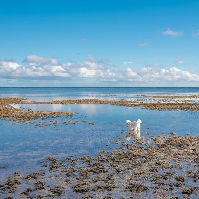 I am lost between the beach, water and the sky😶 #cavalier #cavachon #bichon #cavachonclub #puppy #cute #doglover #dogsofhawaii #dogsofinstagram #cavachonsofinstagram #kahala  #petphotographer #petphoto #studiodixphotography #dogoftheday #bestwoof #mydogiscutest #petstagram #ハワイ#ワンコ#キャバリア #ビション #キャバション #犬バカ部 #愛犬 #わんこなしでは生きていけません会 #cutepetclub #inumatome #cuteandepic