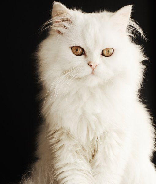 6-102768-white-persian-kitten-2-1431447517-255x3002x