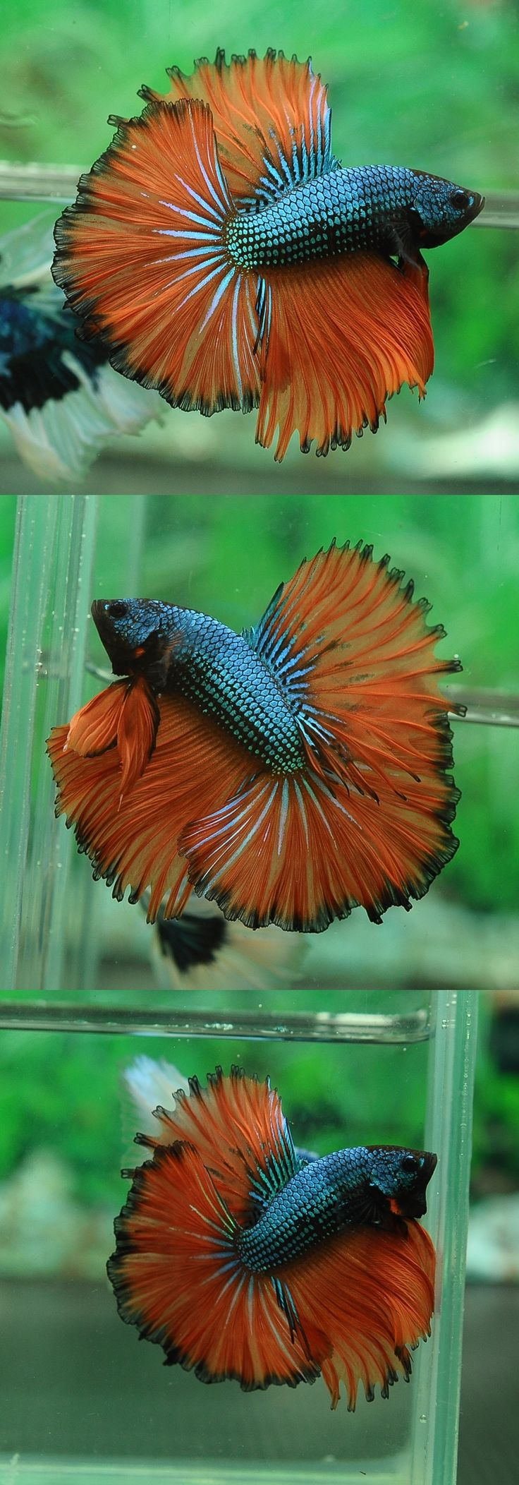 203 best Betta Fish images on Pinterest | Siamese fighting fish ...