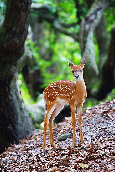 White-Tailed Deer Fawn