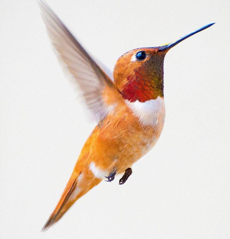 Una fotógrafa captura bellas imágenes de colibríes en su patio - Cultura Inquieta