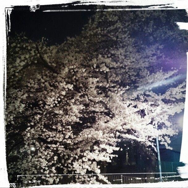 善福寺川の夜桜❗