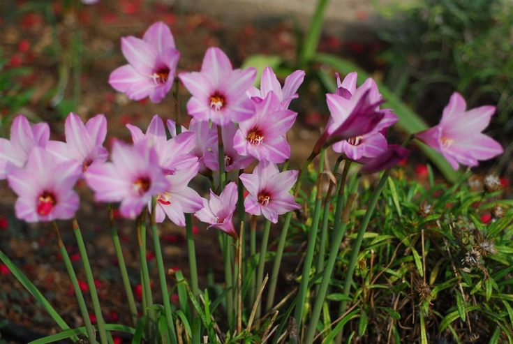 Habranthus robustus Zephyranthes Flower - Google Search