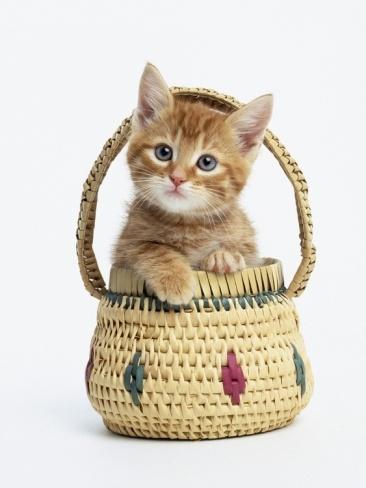 Orange Tabby Kitten in Basket