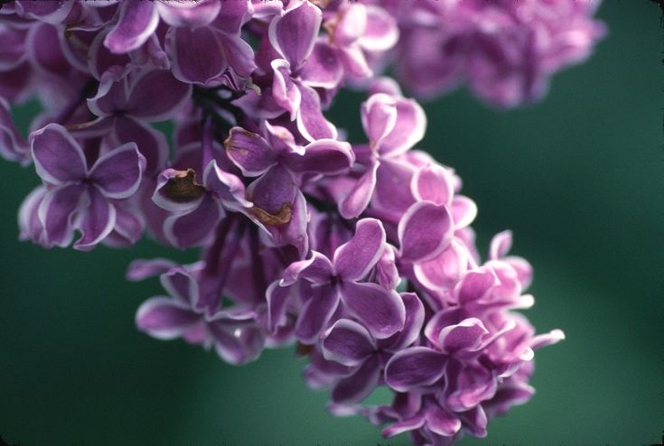 Lilac | Lilac Bush | Species Research JHS Ecology 2011