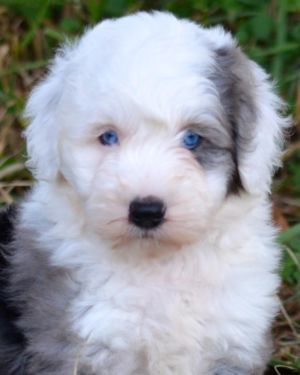 Miniature Sheepadoodle Puppies ~ Health Guarantee