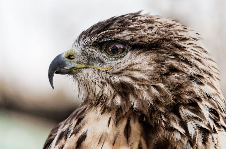 Kestrel falcon by Roman Kozhukhov on 500px #birds #brown #falcon #kestrel #nature #d5100