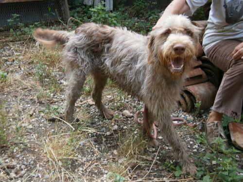 """TINO est un gentil loulou qui vient juste d'avoir 1 an et a été abandonné par un monsieur âgé. Il est encore fou-fou lorsqu'il fait des fêtes ou lorsqu'il joue avec son copain de box ..mais il sait aussi être sage lorsque c'est le moment du brossage, synonyme de papouilles. Surtout, n'ayez pas peur d'adopter un chien dit """" de chasse"""" de merveilleux chiens, toujours contents, câlins, et sympas avec les autres ! Tel : 06 17 03 17 77"""
